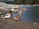 Thumbnail Two ducks are in the waterside.