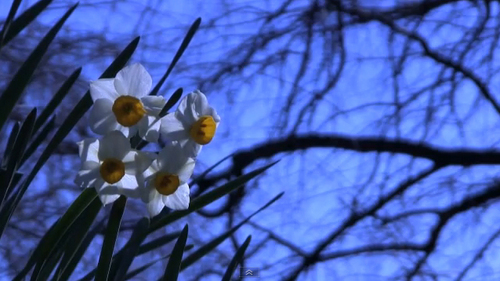 Product picture The narcissus(paper white) in the park of winter.